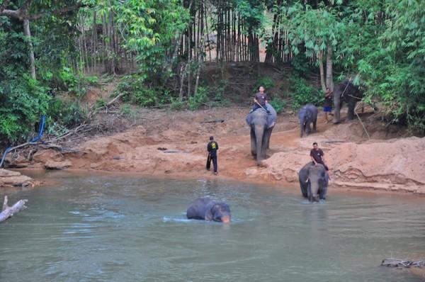 Elephants taking a bath at Temelong River