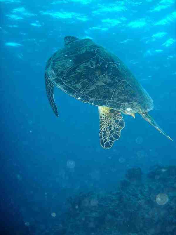 A green sea turtle on the Great Barrier Reef (photo by Nize via Wikipedia)