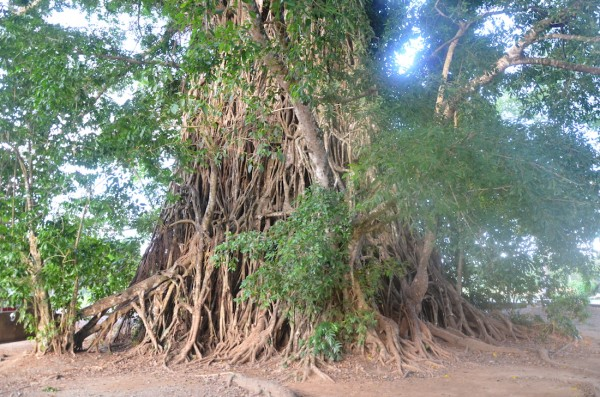 Huge Balete Tree