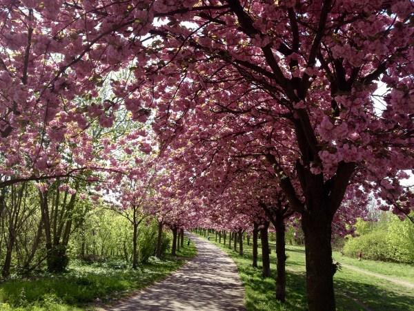Cherry Blosson in Mauerpark Berlin