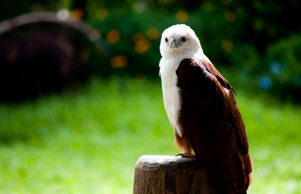 A white-breasted sea eagle in Davao Crocodile farm by Andy Enero via Flickr CC