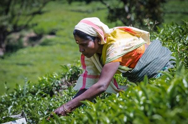 Picking Tea in Munnar Kerala by Stefano Ravalli via Flickr