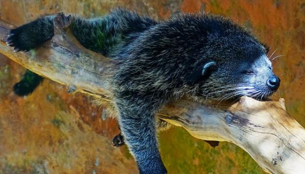 Bearcats or Musang photo by Paweesit via Flickr