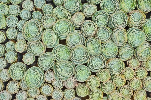Cabbage Cactus for sale in Atok Benguet