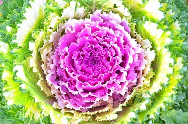 Flower Cabbage in Atok Benguet