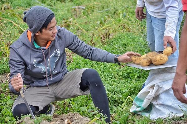 Harvesting Potatoes in Buguias