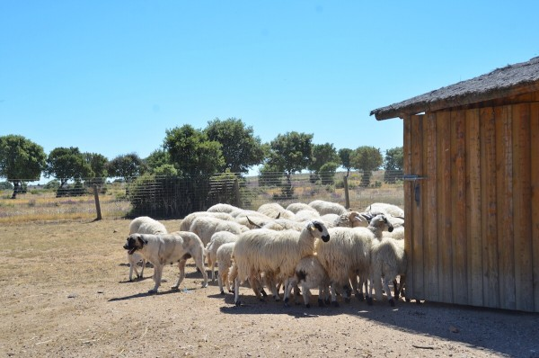 Sheep Farming at Hacienda Zorita