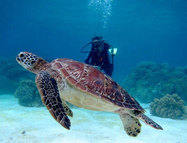 Turtles in Apo Island photo by liquiddumaguete.com