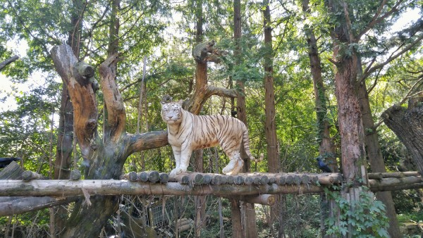 White tiger at the Everland Amazing Safari