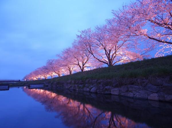 Fukuoka Cherry Blossoms