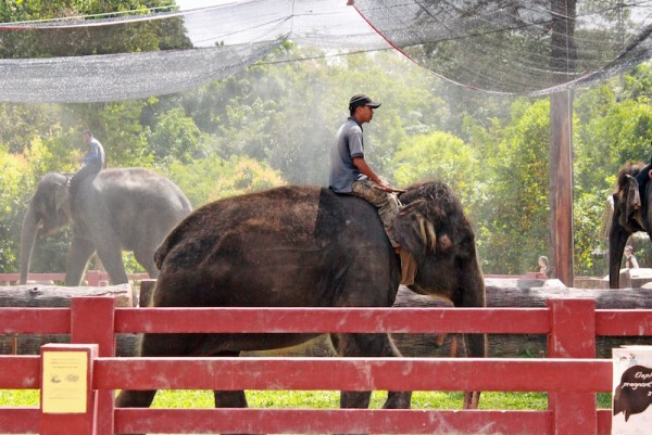 Malaysian weather can get exceedingly hot, so handlers make the elephants walk through a sprinkler system to help them cool down. These are rescued elephants, one of them even has a prosthetic leg, but they took it away from him because he likes to use it as a toy.