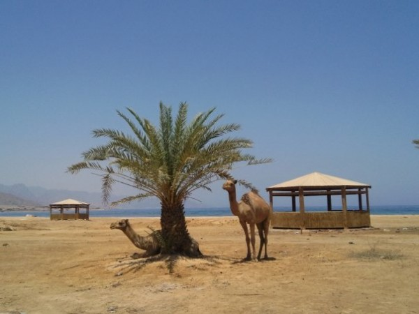 Camel munching on a young date tree