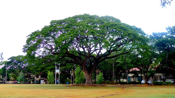 See the most photographed Acacia Tree in Silliman University