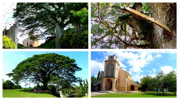 Acacia Tree by St. Raphael the Archangel Parish
