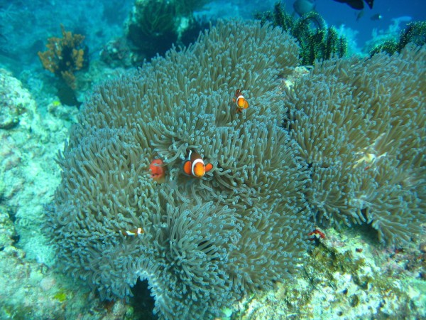 Coral gardens at Tinoto dive site in Maasim by Dindo Paquibot