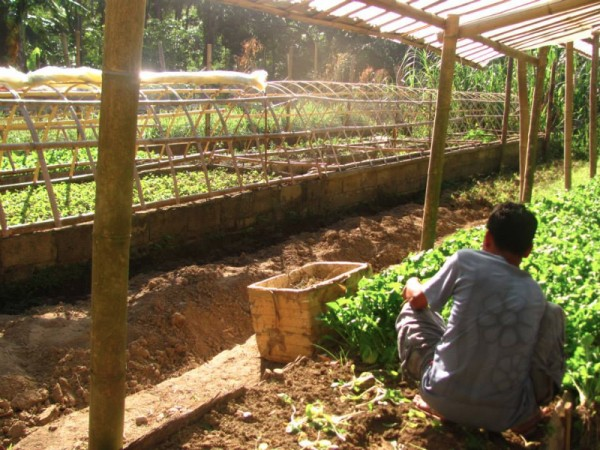 Fresh Lettuce and Arugula and many more crops at Finca Verde's organice garden