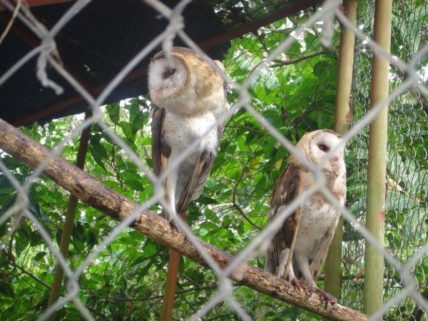 A couple of barn owls observing through the cage
