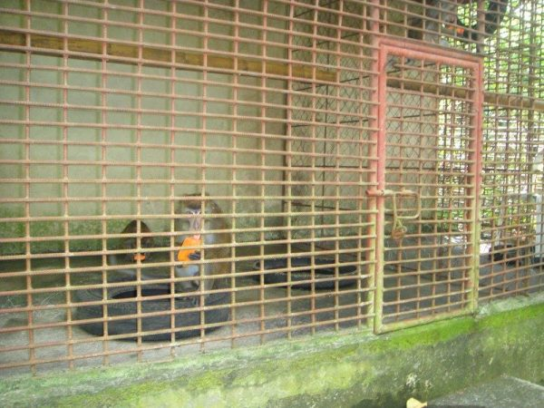 Tamed monkeys eating fruits inside the cage