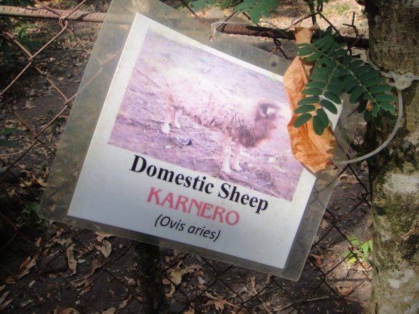 The name tag for the the Domestic Sheep held inside the fenced pen