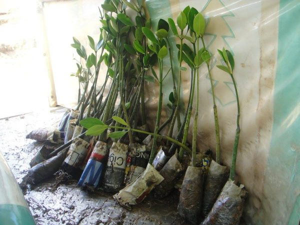 Mangrove seedlings for planting