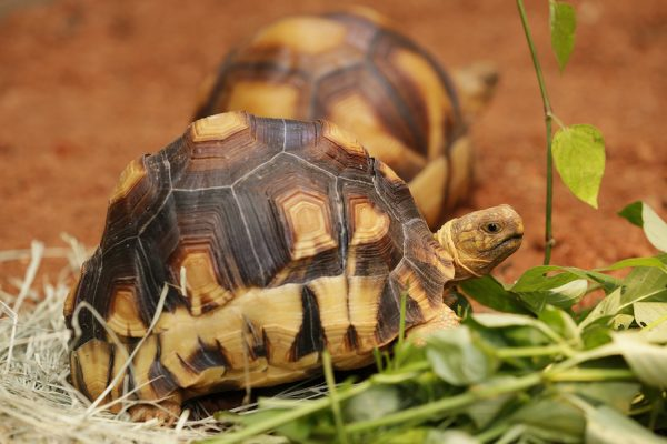 Great care was taken in designing Singapore Zoo's Tortoise Shell-ter, now home to some of the world's most threatened tortoises such as the critically endangered Ploughshare Tortoise (pictured above).Only 200 mature specimens are left in the wild, and survive in a 12 square km patch in Madagascar. Their decline in recent years is a result of poaching for the illegal pet trade. The species is at extreme risk of extinction in the wild within 10-15 years. PHOTO CREDITS: WILDLIFE RESERVES SINGAPORE