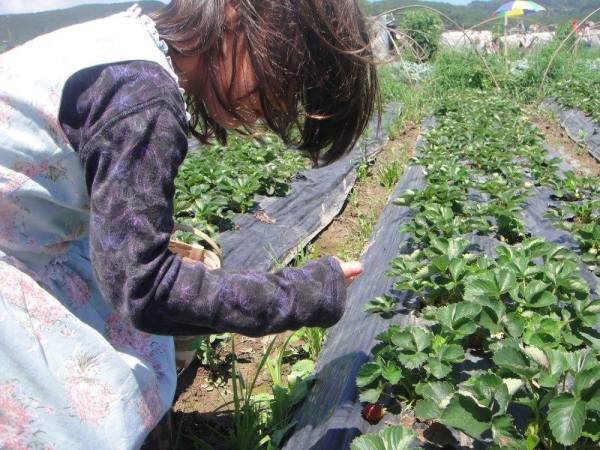 Strawberry-picking at La Trinidad