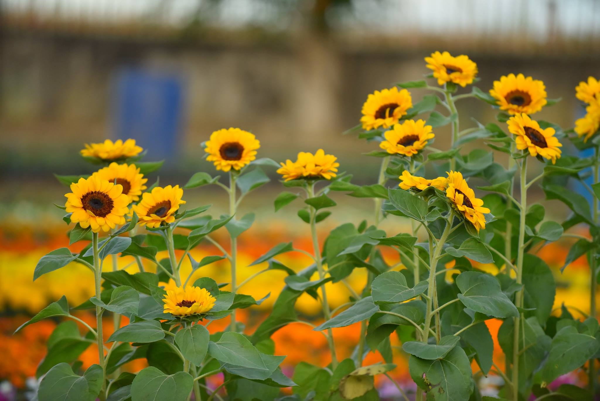 Look Giant Sunflower Maze In Pangasinan Out Of Town Blog
