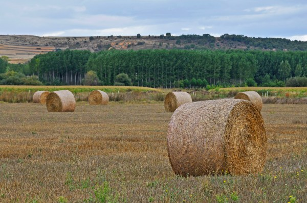 Rolled hay in the fields I cycled past.