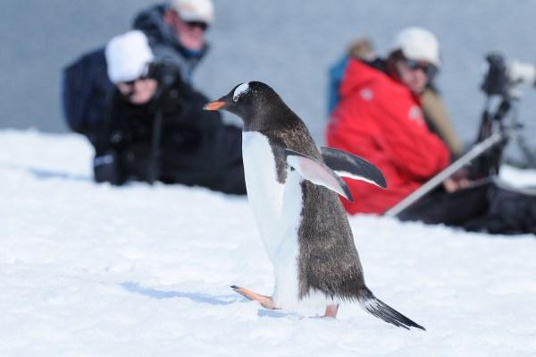 Observing the Gentoo penguin