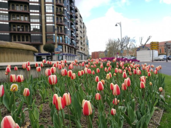 Tulips in the streets of Logrono
