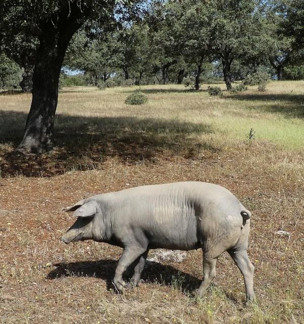 future ham on the hoof in the wild - Jamon Iberico Bellota