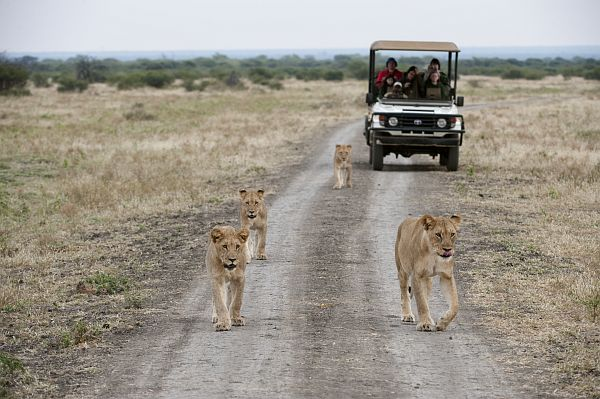 Lions at game reserve- photo courtesy SA Tourism