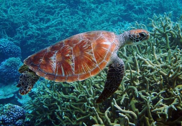 Green Sea Turtle Cobrador Island promotes Ecotourism