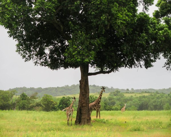 Why are there Giraffes in the Philippines?