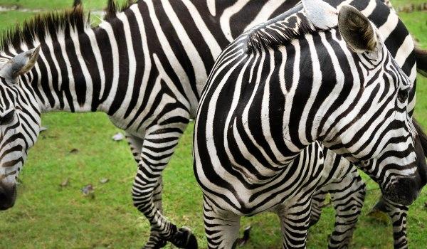 Zebra in Palawan