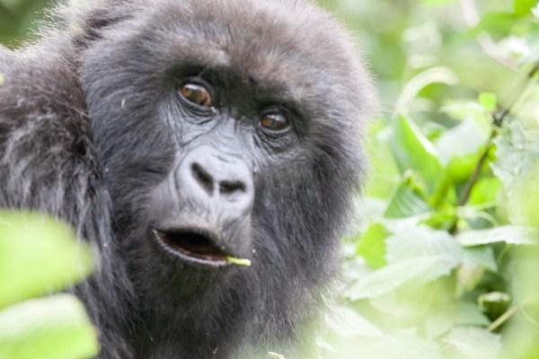 Gorilla Trekking tour in Uganda