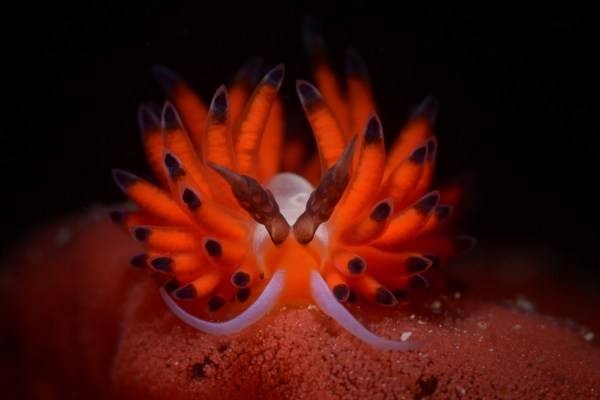 Open Class Nudibranch category First Place Cem Gazivekili from Turkey