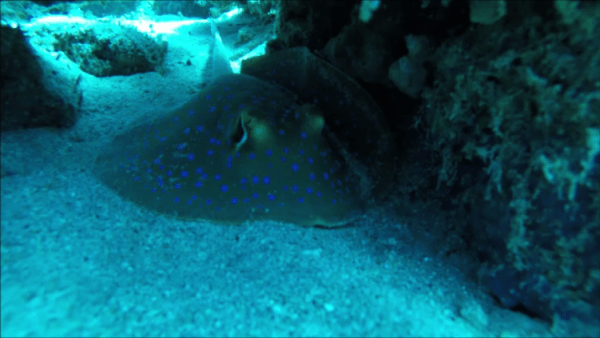 Cathedral Stingray