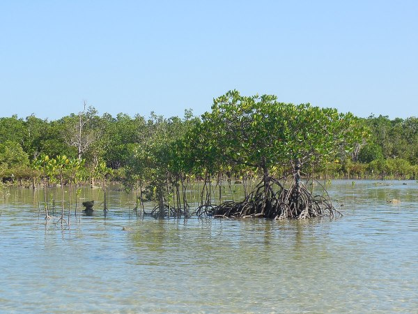 Cagbalete mangrove forest on the western side of the island photo by Lawrence Ruiz via Wikipedia CC