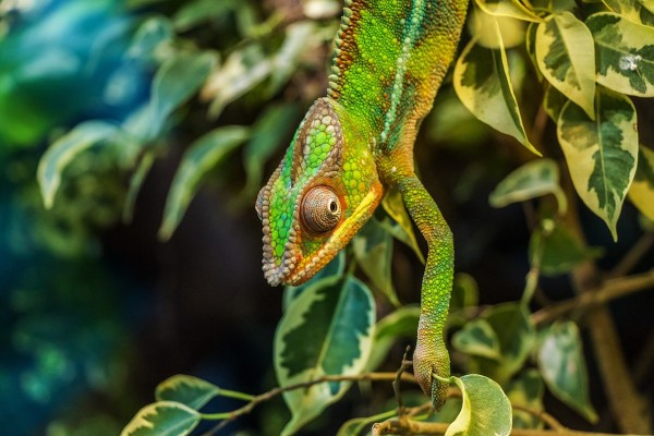 Chameleon in Madagascar -One of the Most Exotic Places In The World