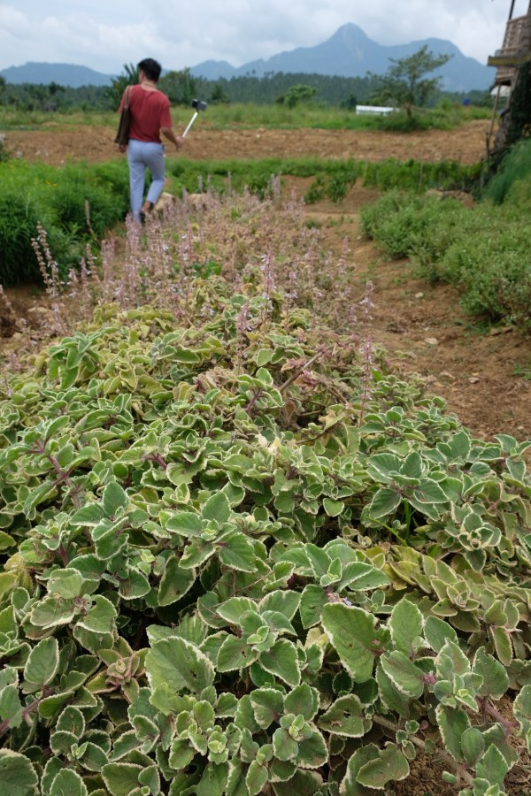 Organic Herbs at Villa Conzoilo Farm in Leyte