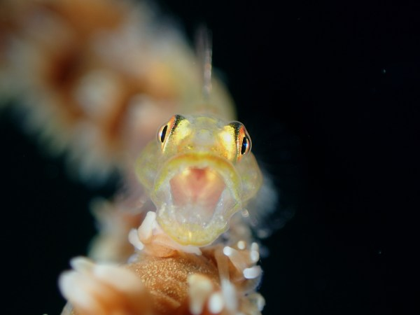 Open up. A goby photographed by DOT Photographer of the Year Regie Casia, 1st Place, Compact Class Fish Portrait