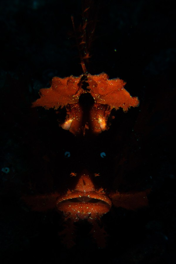Scarlet number. A scorpion fish with glowing eyes hides in the shadows (Photo by Peri Paleracio, 1st Place, Open Class Fish Portrait)