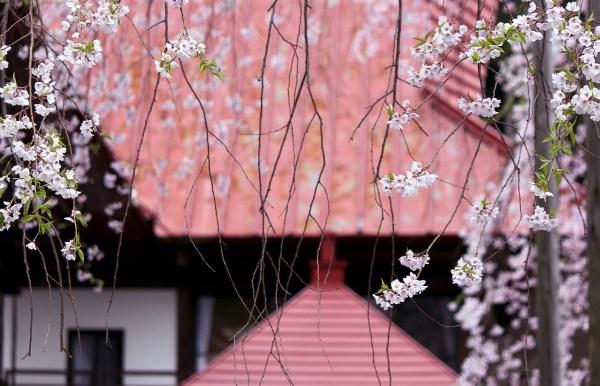 Fukushima Cherry Blossoms