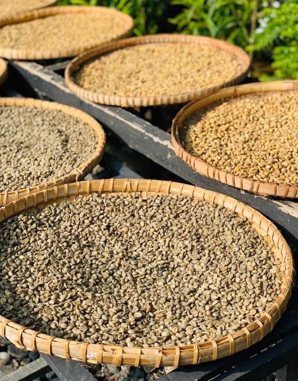 Sun Dried Civet Coffee in Indonesia
