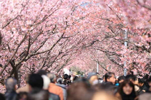 When to catch the 2019 Cherry Blossom season in Japan photo by Kazuend via unsplash