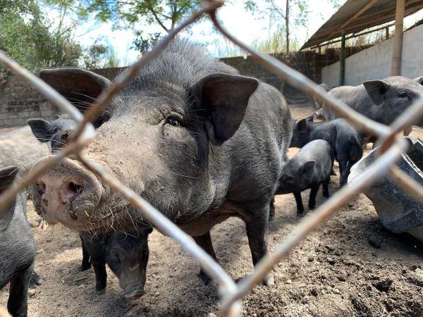 Feeding the wild boars at Tibby's Farm