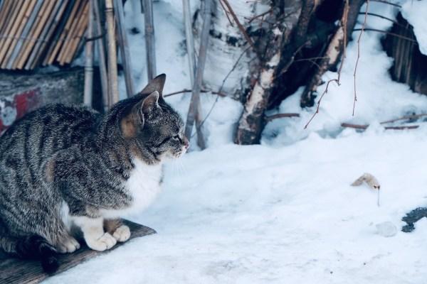 Snow Cat in Ainu Village