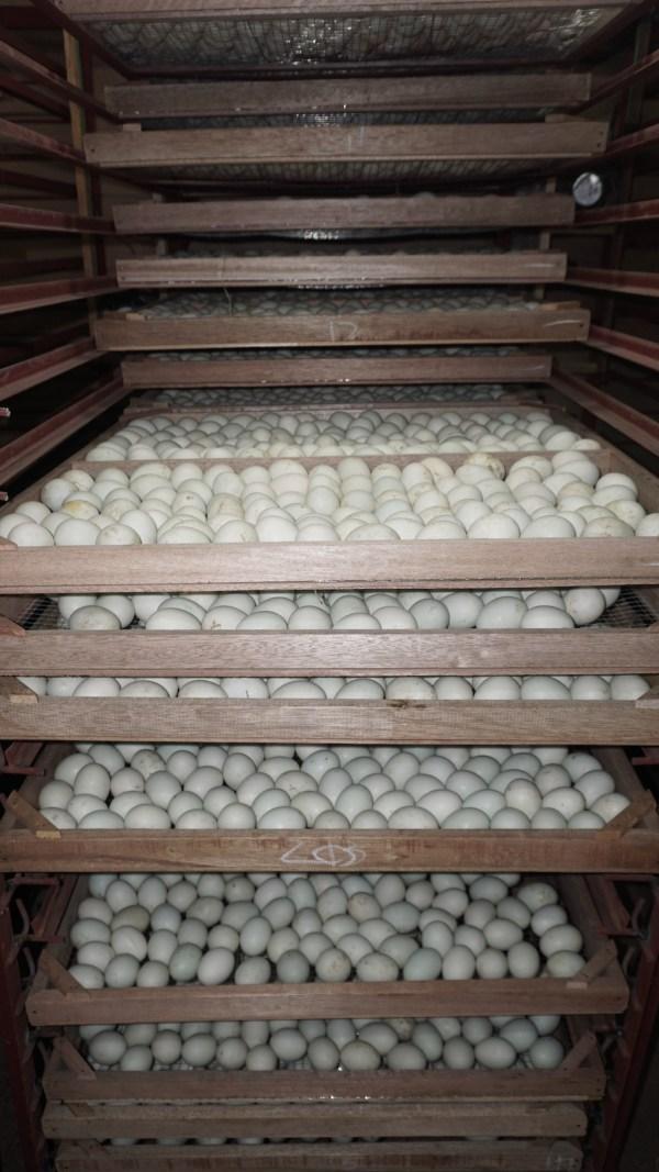 A standard balut incubator in Pateros