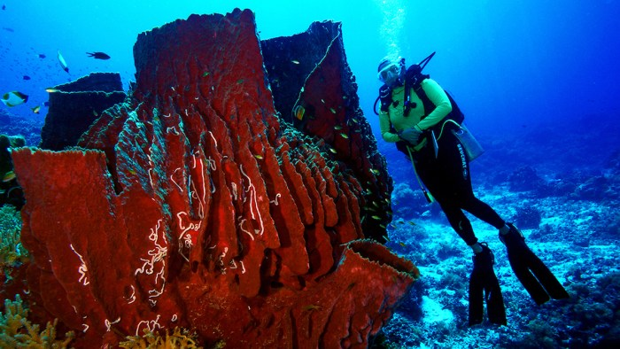 Red pipe corals